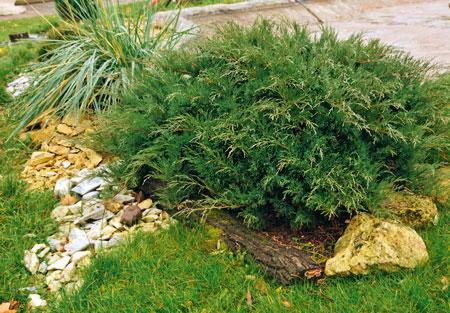 Можжевельник: посадка и уход в открытом грунте, как часто поливать, какую почву любит, агротехника, как быстро растёт