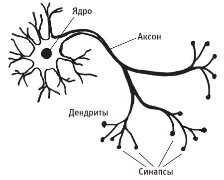 Строение нейрона
