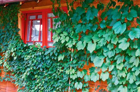 Вьющие растения - ландшафтный дизайн сада