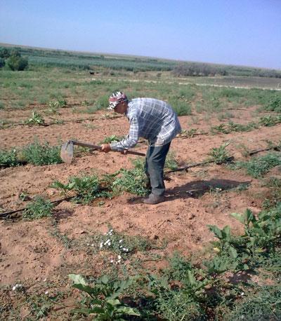 Работа на бахче в Астраханской области