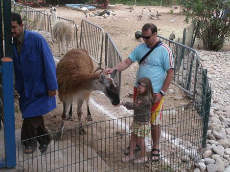 Зоопарк, кормление ламы