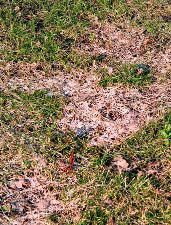 Выпревание газонной травы