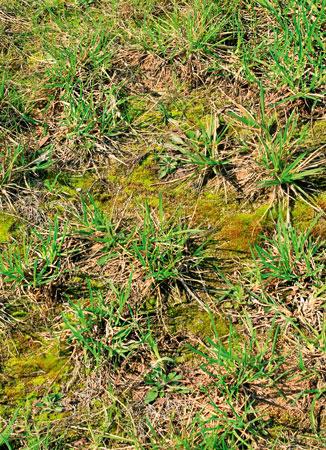 Выпирание газонной травы