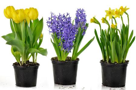 Нарцисс фото цветов в горшках