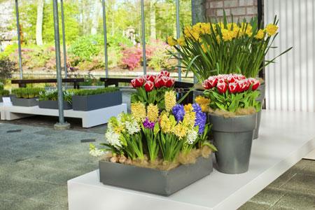 Выращивание тюльпанов, нарциссов, гиацинтов