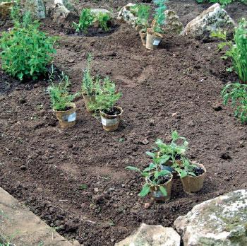 Пряные травы, какие посадить