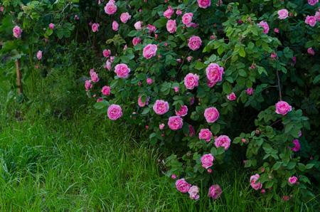 Описание роз