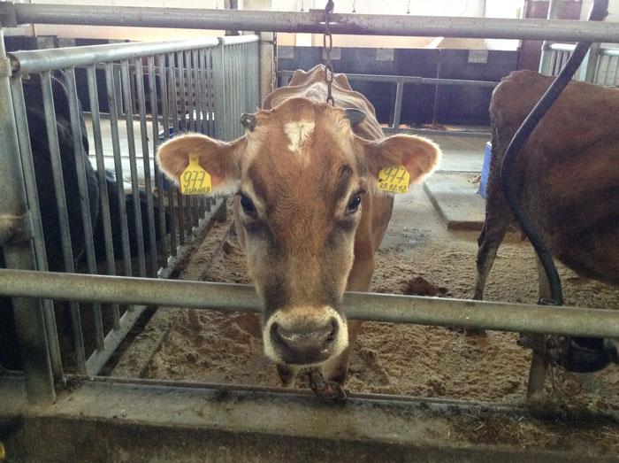 Корова породы джерси считается самой красивой