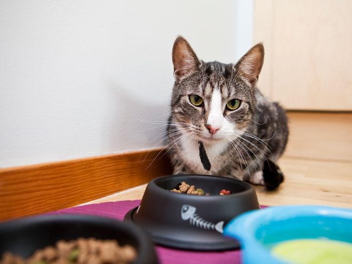 Можно ли кормить кота натуралкой и сухим кормом