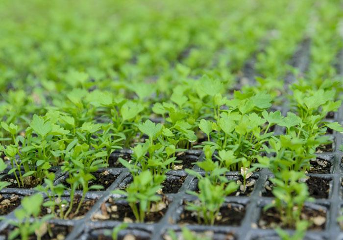 Выращивание сельдерея. Сельдерей на рассаду