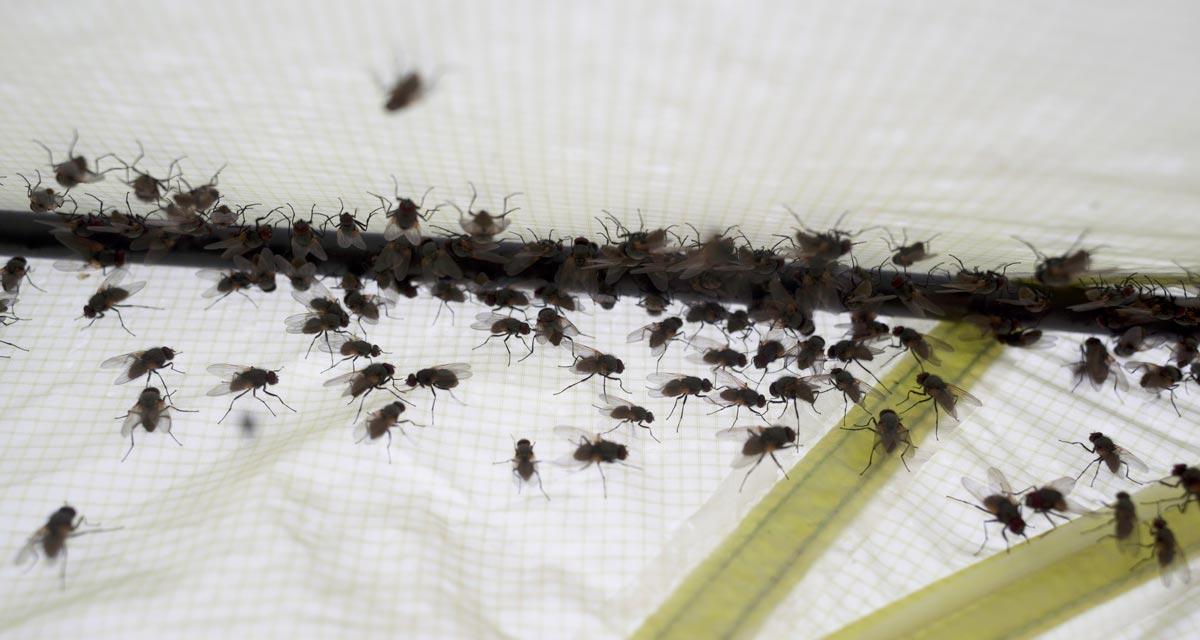 Откуда появляются маленькие мошки около разрезанного арбуза. Откуда берутся мошки: пути проникновения врага в дом. Как размножаются дрозофилы