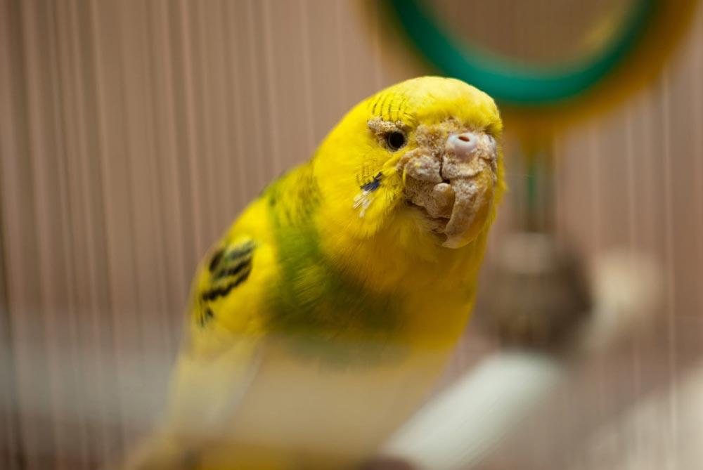 Можно ли научить попугая говорить