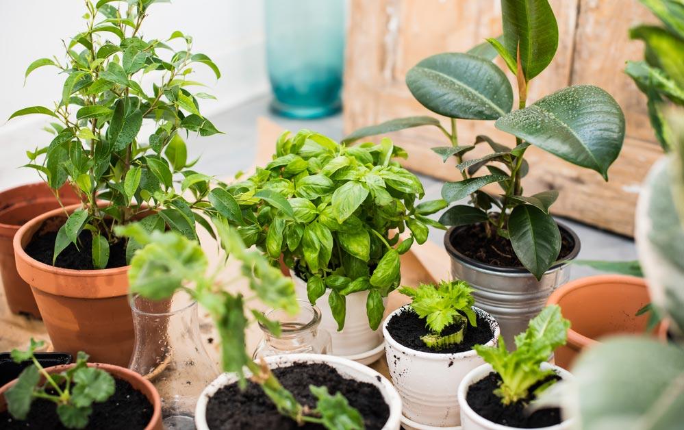 Домашние растения, очищающие воздух