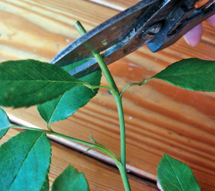 Как вырастить розу изчерен