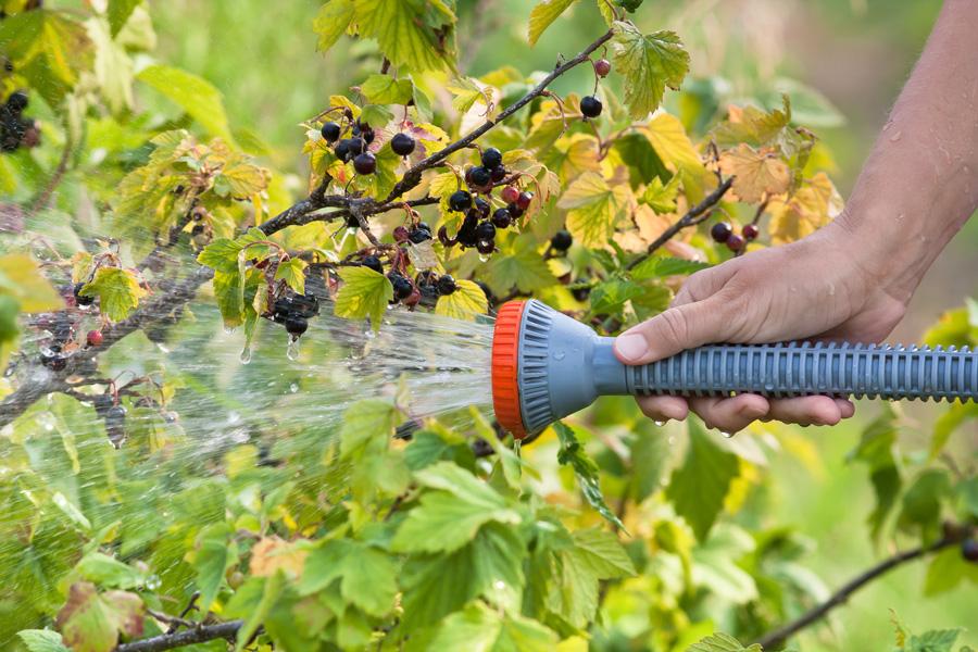 Чем подкормить смородину икрыжовник после сбора урожая