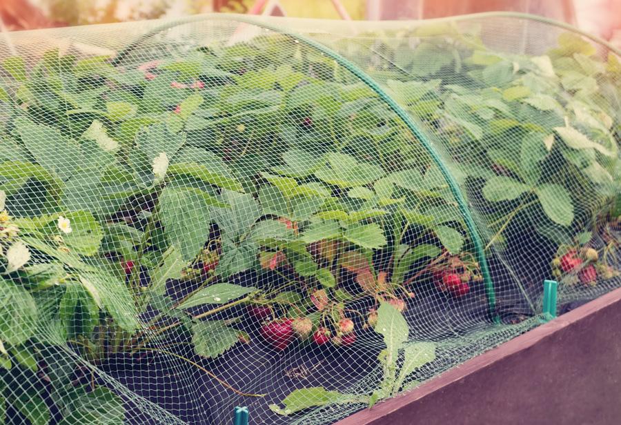 Чем обработать клубнику после обрезки в августе