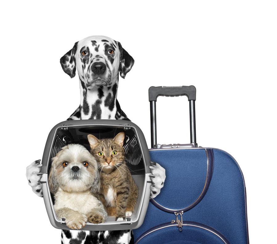Как перевезти собаку или кошку всамолете