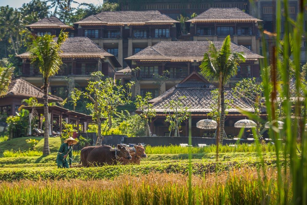 Рисовые террасы иорганический огород шефа