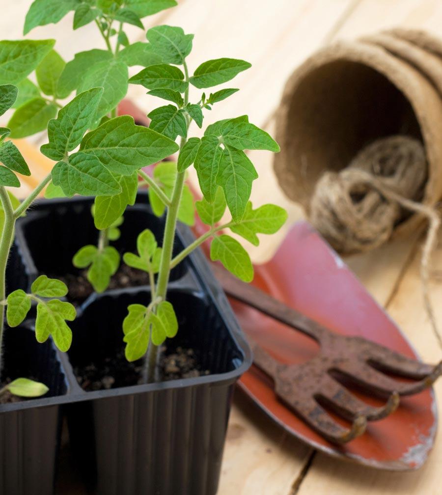 Оптимальная температура для рассады помидоров икапусты