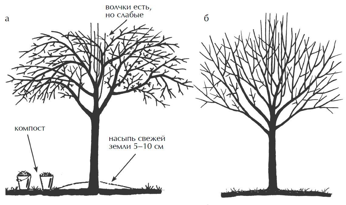 Как правильно обрезать деревья: старая яблоня