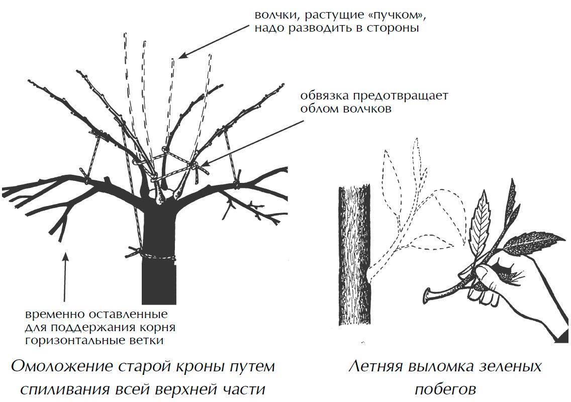 Обрезка деревьев для начинающих