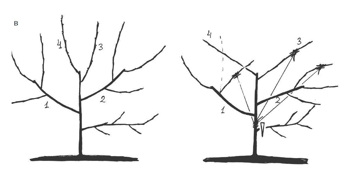 Обрезка молодого дерева весной