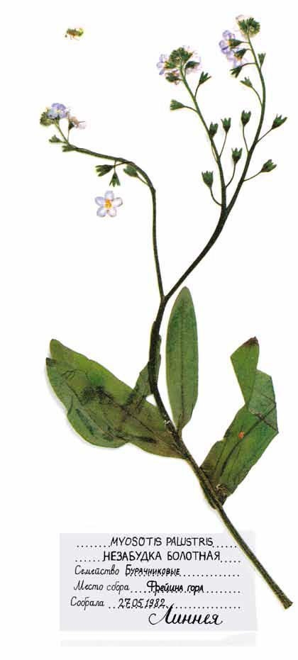 Myosotis palustris, незабудка болотная