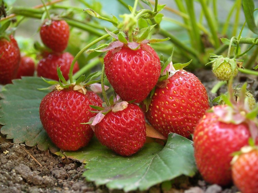 Выращивание клубники: минусы. Трудности садовода икак ихизбежать