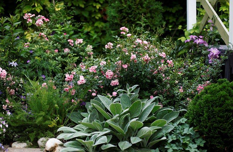 Миксбордер из роз