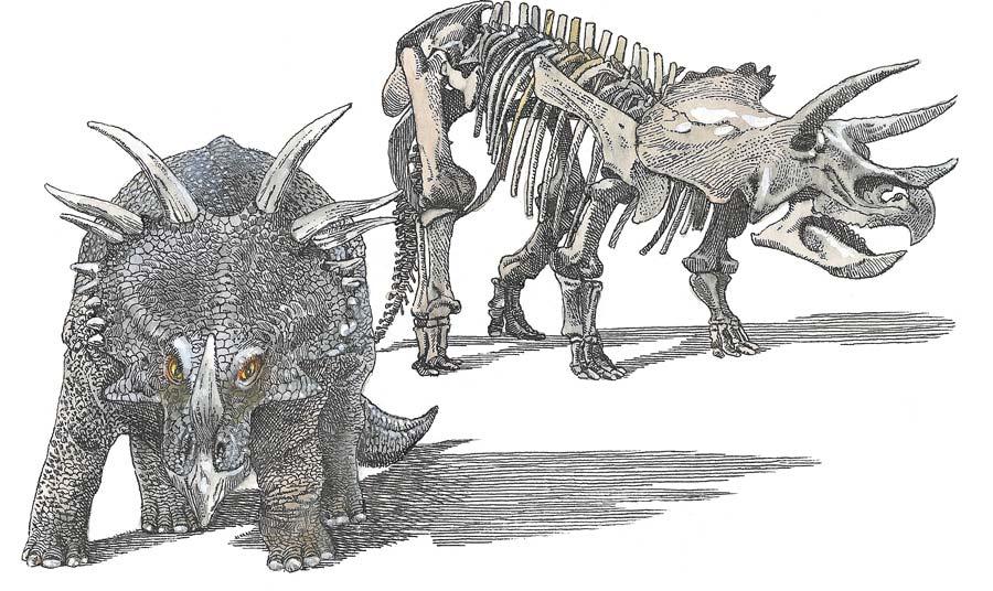 Слева стиракозавр. Справа трицератопс, достигавший вдлину 8метров