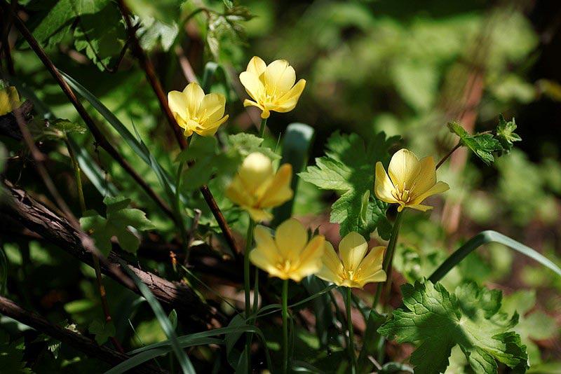 Тюльпан льнолистный