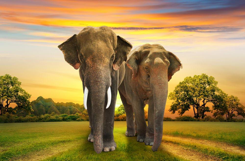 Когда слон может напасть