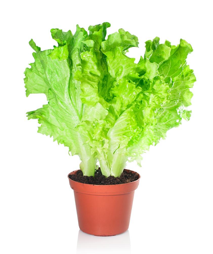 Когда можно сажать салат наподоконнике?