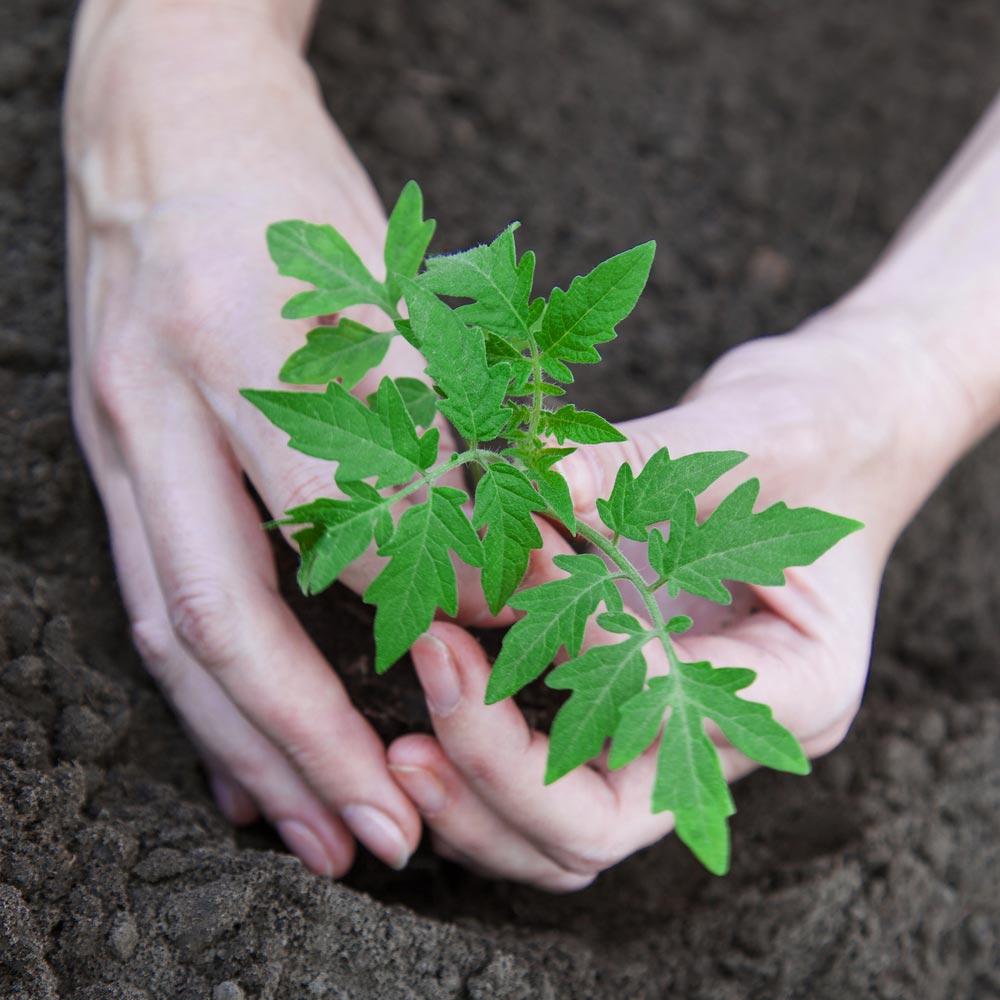 Как подготовить семена игрунт для рассады помидоров