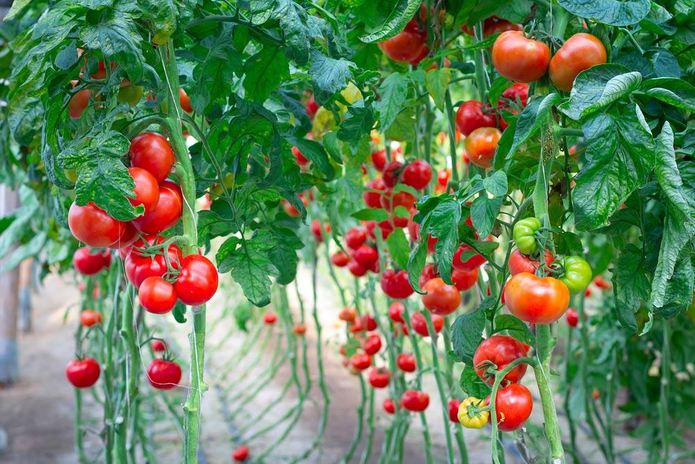 Почему помидоры неболеют фитофторой