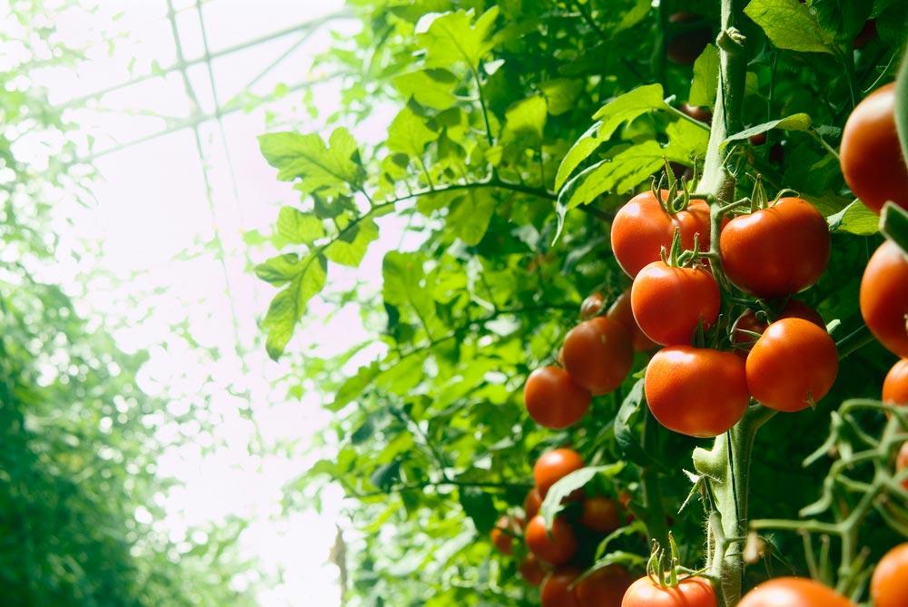 Как подготовить грядку для помидоров втеплице иоткрытом грунте