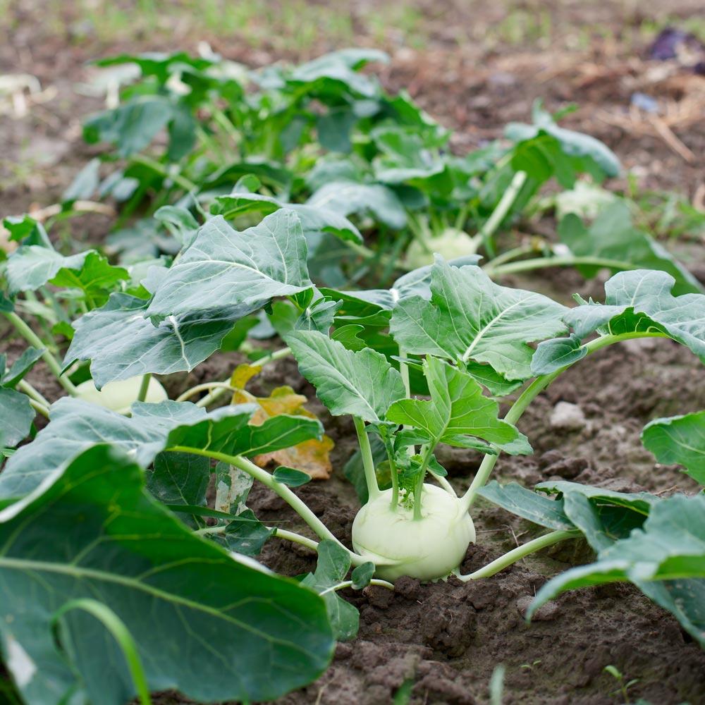 Кольраби, выращивание воткрытом грунте