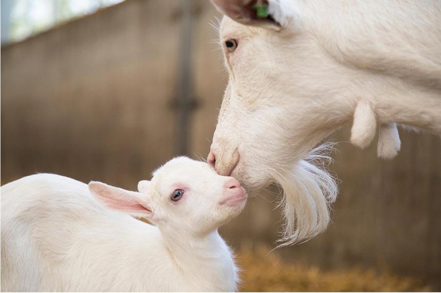 Смесь на козьем молоке
