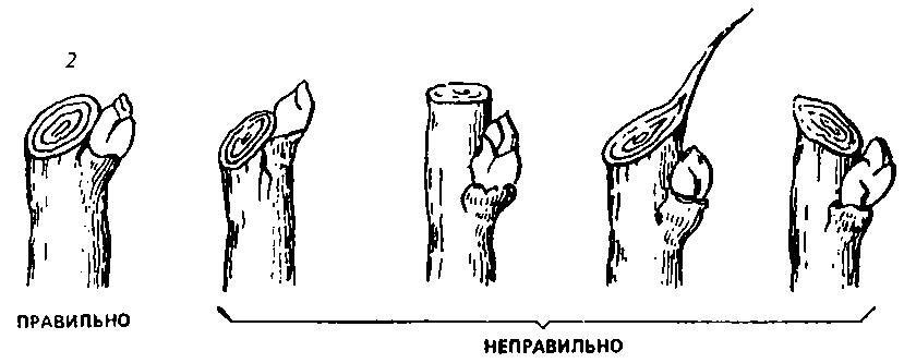 Обрезка плодовых деревьев: как правильно
