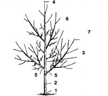 Надземная часть плодового дерева