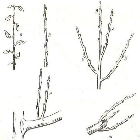 Генеративные ветви семечковых