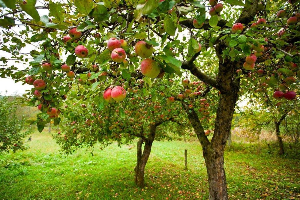 Когда начинают плодоносить яблони после посадки. На, какой год начинает плодоносить яблоня после посадки саженцев