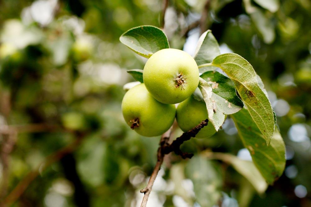 Как лечить яблоню