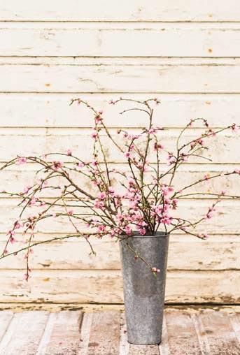 Как получить цветущие ветки абрикоса, вишни, персика исливы (Prunus)