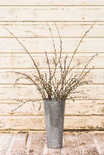 Как заставить зацвести наподоконнике иву (Salix)