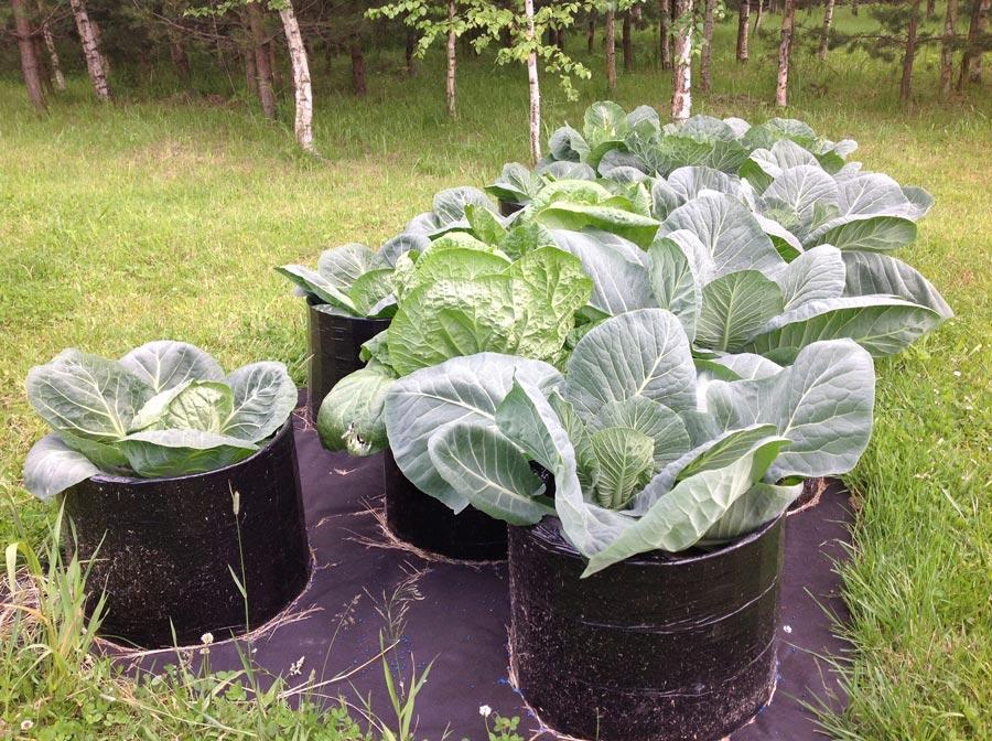 Плюсы иминусы выращивания овощей впростых мешках