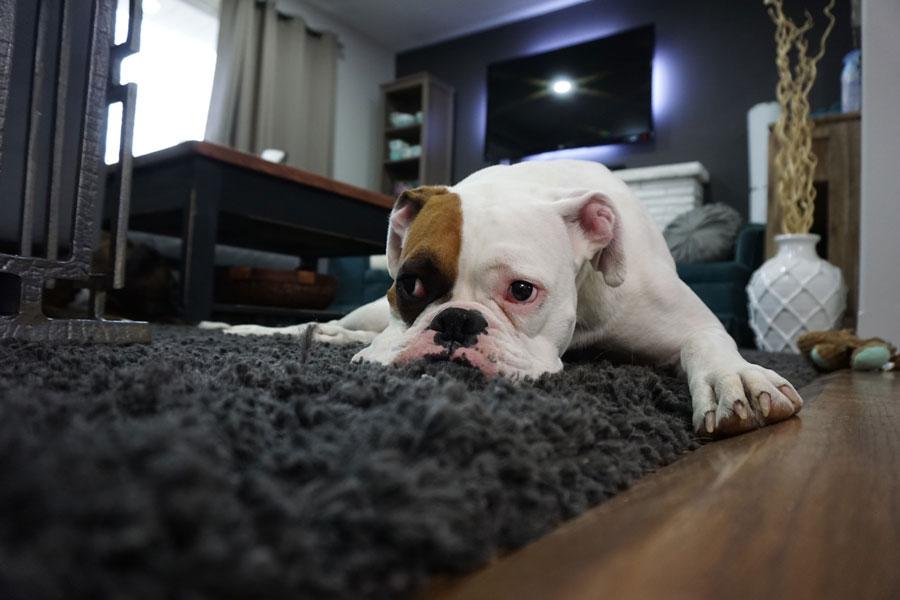 Откаких инфекций собаку надо прививать обязательно?