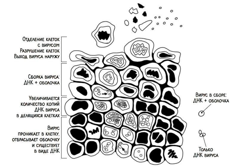 Продвижение вируса папилломы человека внутри многослойного плоского эпителия