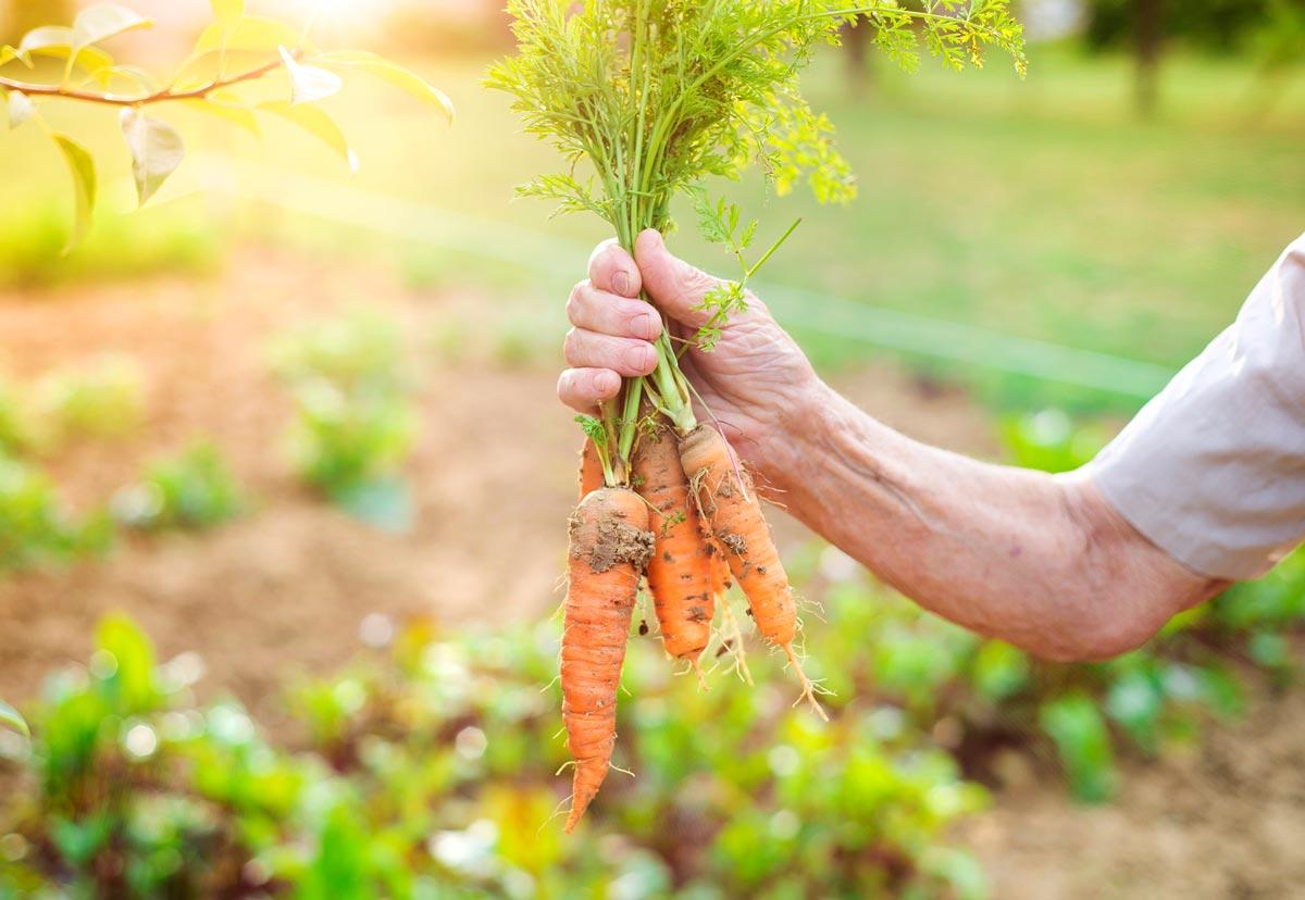 Как защитить морковь отболезней