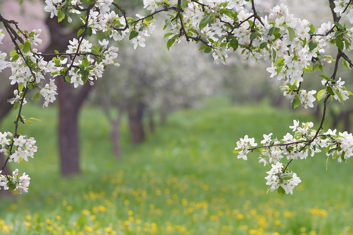 как отгибать ветви у яблони